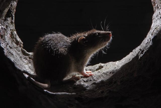 Gracias a la tecnología @Sigfox, se revolucionará el control inteligente de los roedores en Singapur