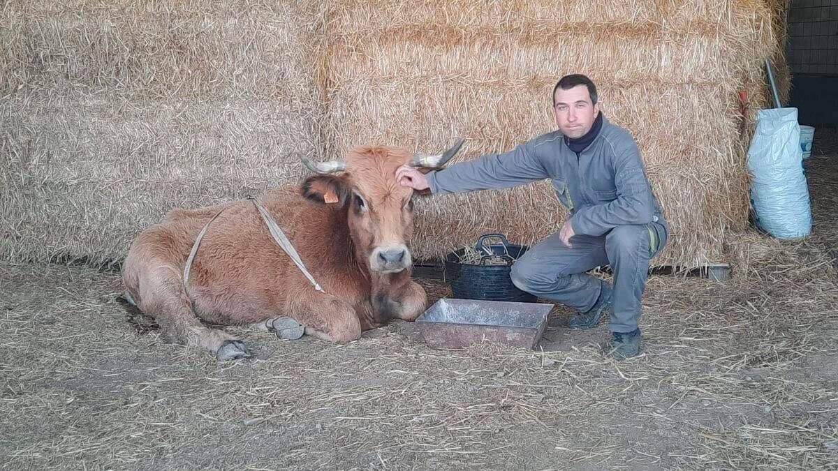 #Sigfox: Una vaca sobrevive a un ataque de buitres en Morella gracias al GPS